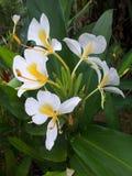 Flores del sontaka Imagen de archivo libre de regalías