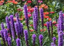 Flores del spicata del Liatris en el jardín del verano fotografía de archivo libre de regalías