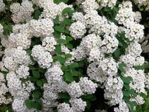 Flores del Spiraea Imágenes de archivo libres de regalías