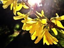 Flores del suspensa de la forsythia imagen de archivo libre de regalías
