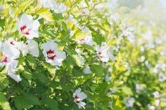 Flores del syriacus del hibisco Foto de archivo