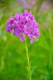 Flores del té medicinal de Ivan de la hierba Foto de archivo