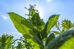 Flores del tabaco contra un cielo azul Fotos de archivo