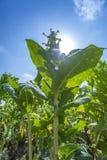 Flores del tabaco contra un cielo azul Fotografía de archivo libre de regalías
