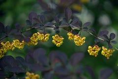 Flores del thunbergii de Barberis en el parque del verano Imagen de archivo