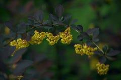 Flores del thunbergii de Barberis en el parque del verano Imagen de archivo libre de regalías