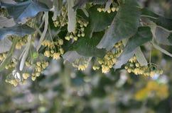 Flores del tilo Imagenes de archivo