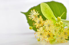 Flores del tilo Imágenes de archivo libres de regalías