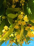 Flores del tilo Foto de archivo