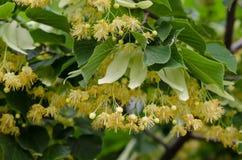 Flores del tilo en el árbol Imagen de archivo libre de regalías