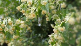 Flores del tilo en ramas verdes Estación floreciente del verano Aromatherapy y té verde de la cal metrajes