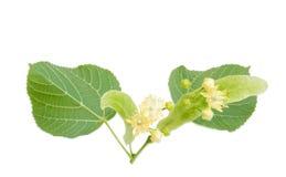 Flores del tilo en un fondo ligero Imagenes de archivo