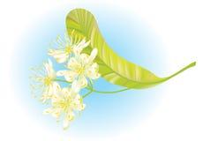 Flores del tilo. Ilustración del vector. Fotografía de archivo libre de regalías