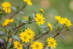 Flores del tinctoria de Cota o de la manzanilla amarilla Imagenes de archivo