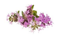 Flores del tomillo Imagenes de archivo