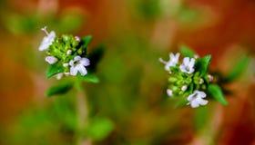 Flores del tomillo Foto de archivo libre de regalías