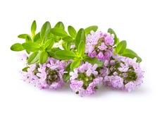 Flores del tomillo en el fondo blanco Imagen de archivo libre de regalías