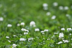 Flores del trébol blanco foto de archivo libre de regalías