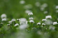 Flores del trébol blanco imagenes de archivo