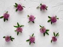 Flores del trébol en el fondo blanco Foto de archivo