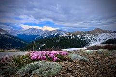 Flores del trébol en prados alpinos foto de archivo