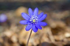 Flores del transsilvanica de Hepatica Fotografía de archivo