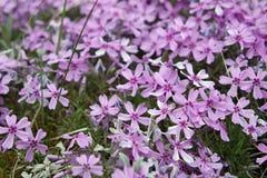 flores del trentino Foto de archivo