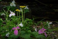 Flores del Trillium y del diente de león Fotos de archivo