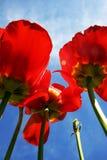 Flores del tulipán Fotografía de archivo libre de regalías