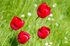 Flores del tulipán libre illustration