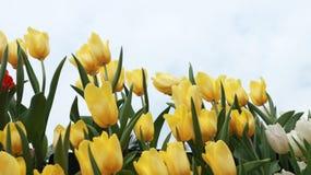 Flores del tulipán en el fondo del cielo foto de archivo