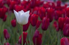 Flores del tulipán en jardín Fotografía de archivo