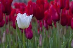 Flores del tulipán en jardín Fotografía de archivo libre de regalías