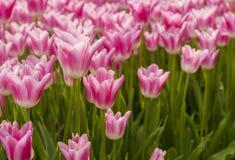 Flores del tulipán en jardín Fotos de archivo libres de regalías