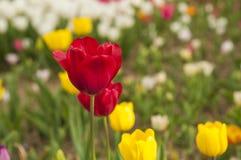 Flores del tulipán en jardín Foto de archivo libre de regalías