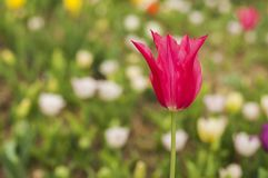 Flores del tulipán en jardín Fotos de archivo
