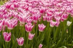 Flores del tulipán en jardín Imagen de archivo libre de regalías