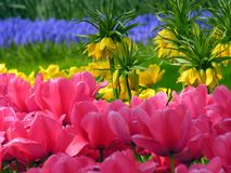 Flores del tulipán en la floración Imagen de archivo libre de regalías