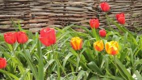 Flores del tulipán que florecen en primavera Floraciones coloridas de los tulipanes que se sacuden en el viento Movimiento horizo metrajes