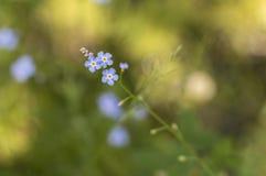 Flores del usitatissimum de Linum del lino sobre fondo verde Fotos de archivo