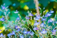 Flores del usitatissimum del lino o de Linum fotografía de archivo libre de regalías