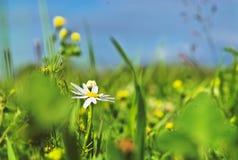 Flores del verano en hierba Imágenes de archivo libres de regalías