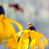 Flores del verano - fondo de la flor del Rudbeckia Imagen de archivo libre de regalías