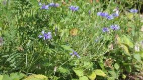 Flores del verano por día soleado Bluets y abejas almacen de metraje de vídeo