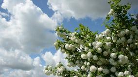 Flores del viburnum de la primavera en fondo del cielo almacen de video