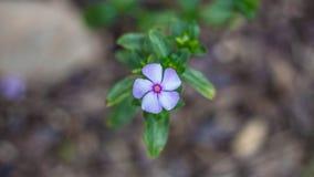 Flores del Vinca Fotografía de archivo libre de regalías