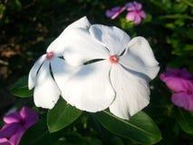 Flores del Vinca Fotos de archivo libres de regalías