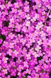 Flores del violete del resorte en Fulda Fotos de archivo