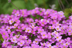 Flores del violete del resorte en Fulda Foto de archivo libre de regalías
