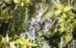 Flores del vuelo de la abeja Foto de archivo libre de regalías